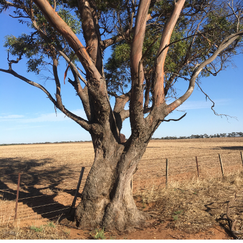 VCAT Red Dot Decision: Biodiversity Value of Large Scattered Trees