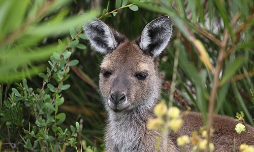 Kangaroo Management Plans for Residential Subdivisions