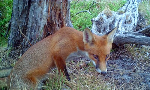 RAMSAR Site Fox Control Management Plan